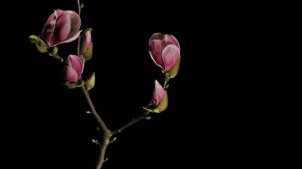 Statické středně široká čas zanikla záběr fialová, růžová a bílá magnólie květiny na začínající větev stromu, kvetoucí, kvetení, umírání a vadnutí na černém pozadí