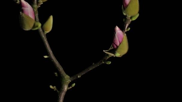 Středně široké zblízka pohybu času zanikla výstřelu přesunutím fialové, růžové a bílá magnólie květiny pučí, kvete a kvetoucí na černém pozadí