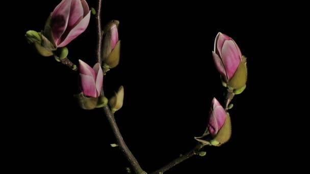 Středně široké zblízka pohybu času zanikla záběr fialové, růžové a bílá magnólie květiny pučí, kvete, květu, umírání a vadnutí na černém pozadí