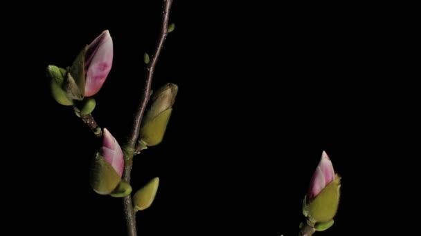 Středně široké pohybu časová prodleva zastřelil pomalu pohybující se směrem k fialové, růžové a bílá magnólie květiny pučí, kvete a kvetoucí na černém pozadí