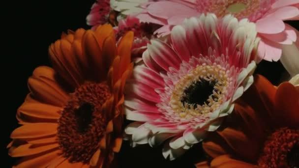 Střední blízkosti se pohybu časová prodleva zastřelil krouží kolem barevné banda různých barevný gerbera sedmikráska květin se zaměřením na dvě bílé a růžové colered ty kvetoucí a umírání