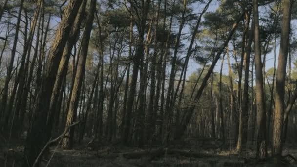 Střední širokým záběrem zapadajícího slunce svítí na kmeny stromů borovice v divokého lesa