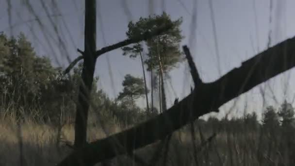 Středně dlouhé nízké malou hloubku pole jeřáb střílel na krajina savany s vysokými borovicemi uprostřed pole podél dlouhé hnědé trávy a větví mrtvý strom při západu slunce