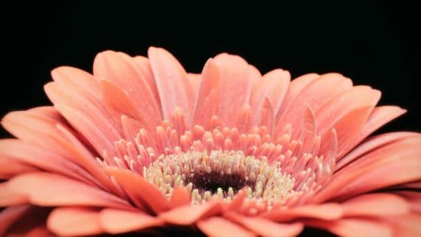 Střední zblízka pohybu času zanikla záběr červená Gerbera sedmikráska květ kvete a umírání