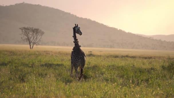 Žirafa s Oxpeckers na západě slunce v národním parku Serengeti Tanzanie