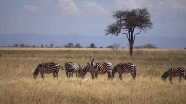 Zebra stádo jíst trávu na louce africké savany zvířata v přírodním prostředí
