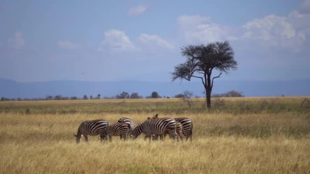 Plain Zebra Család legelő afrikai szavanna, állatok természetes élőhely