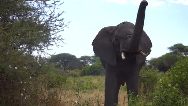 Felnőtt afrikai elefánt emelő csomagtartó előtt kamera, közelkép