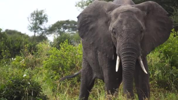 Close Up of Elephant Eating Grass in Green Landscape of African Savannah