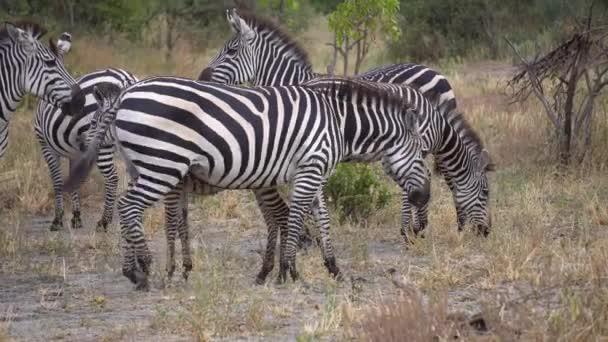 Plains Zebra Herd Close Up. Zvířecí jíst trávu, Safari v africké Savannah