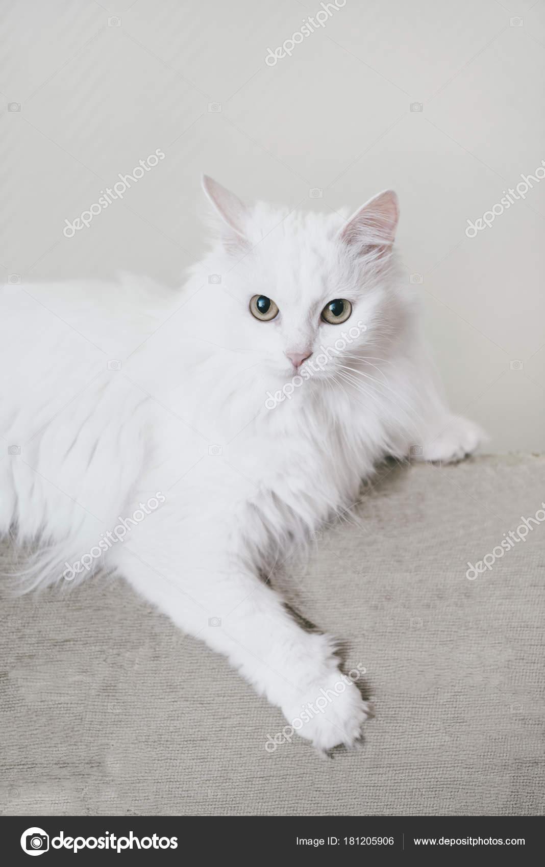 ee583d1cd4d017 Fluffig katt liggande på soffan — Stockfotografi © Remains  181205906