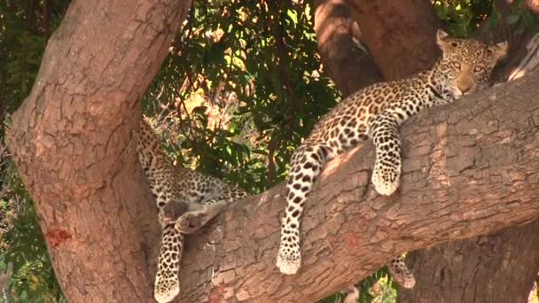 Two young leopards resting on the tree in Chobe National Park
