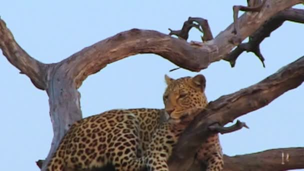 Leopard on the tree in Chobe National Park