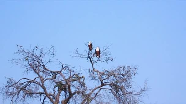 Afričtí orli. Okavango Delta, Národní park Moremi, Botswana.