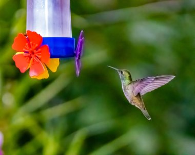 A hummingbird hovering next to a bottle with sugar water