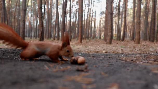 Félénk mókus felveszi a dióta.Ősz, vadvilág, erdő, állatok, rágcsáló, aranyos, szép, hihetetlen