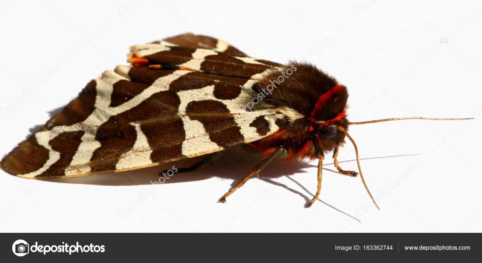 Great Tiger Moth — Stock Photo © bobby22 #163362744