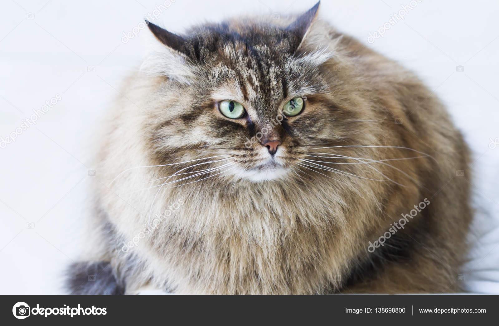 Gatto Siberiano Allaperto Di Bellezza Marrone Sgombro Gattino