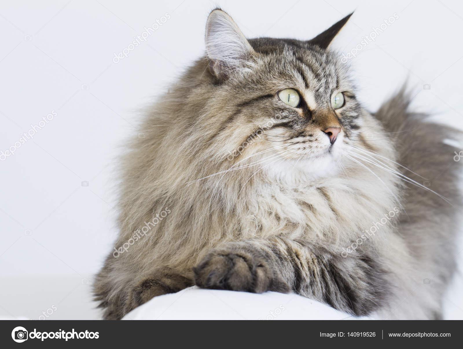 Gatto Tigrato Marrone Della Razza Siberiana Sdraiato Sul Divano