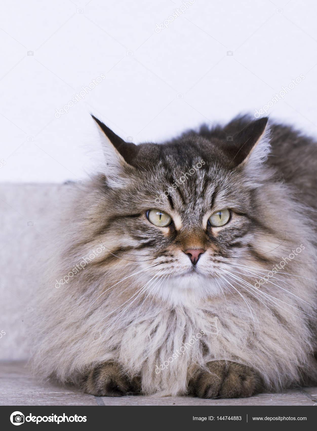 Razza Siberiana Gatto A Pelo Lungo Marrone Nel Giardino Foto