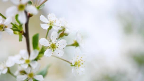 cseresznyevirágok lengenek a széltől. tavaszi háttér. másolás helye