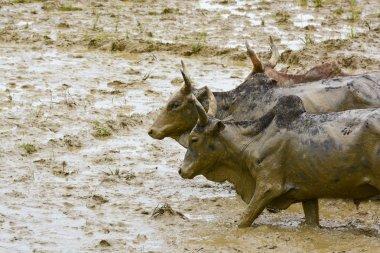 Madagascar hard working oxen