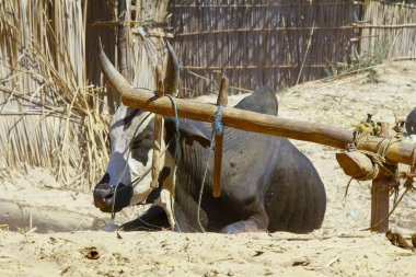 Madagascar hard working ox