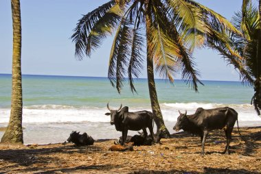 Madagascar landscape with oxen
