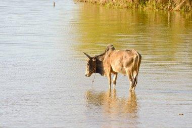 Madagascar landscape with ox