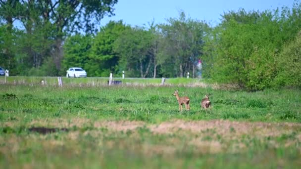 két szarvas áll egy zöld mezőn, és a háttérben van egy országút, hogy használják