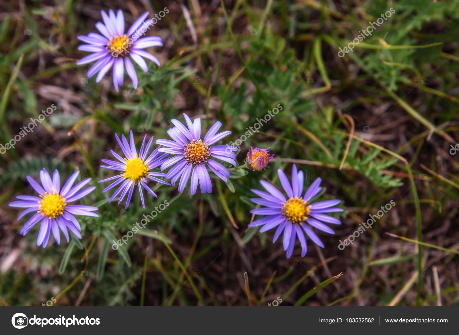 Lilac daisy flowers meadow background stock photo irisha 183532562 beautiful floral background with delicate lilac flowers daisies growing on the meadow in the mountains photo by irisha izmirmasajfo