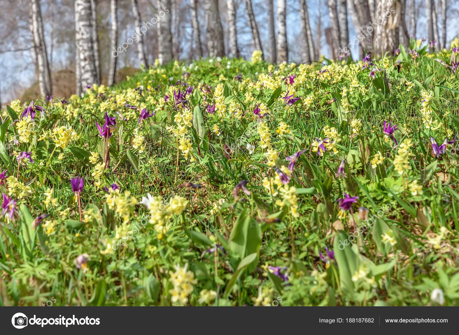 Fiori Gialli Borgogna.Bright Yellow Burgundy Spring Wild Flowers Erythronium Sibiricum