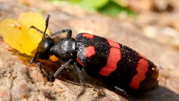 Bug grande mangia. Macro