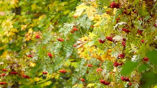 strom jeřáb na podzim