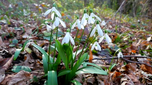 Snowdrops in spring forest