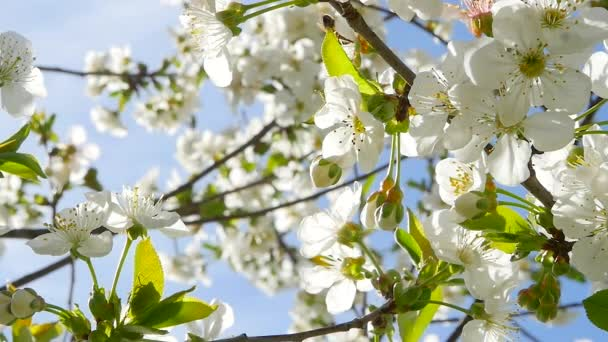 White flowers on the tree on a Sunny day