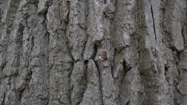 Oak Bark. The camera slowly slides over the surface of the Trunk