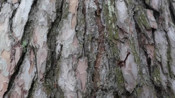 Pine Bark. The camera slowly slides over the surface of the Trunk
