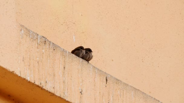 Two sparrows he and she sit side by side on a ledge in the wall