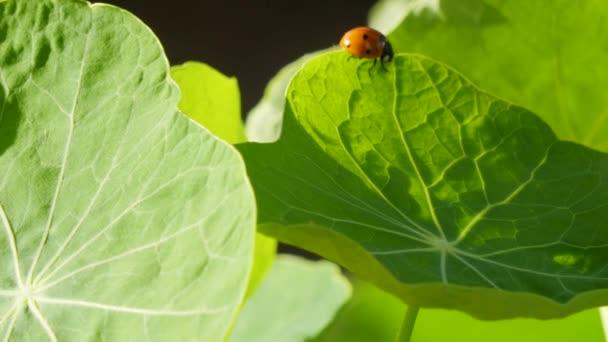 Ladybug on a large green leaf on a Sunny day
