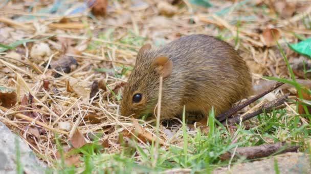 Kleine Maus frisst Gras aus nächster Nähe