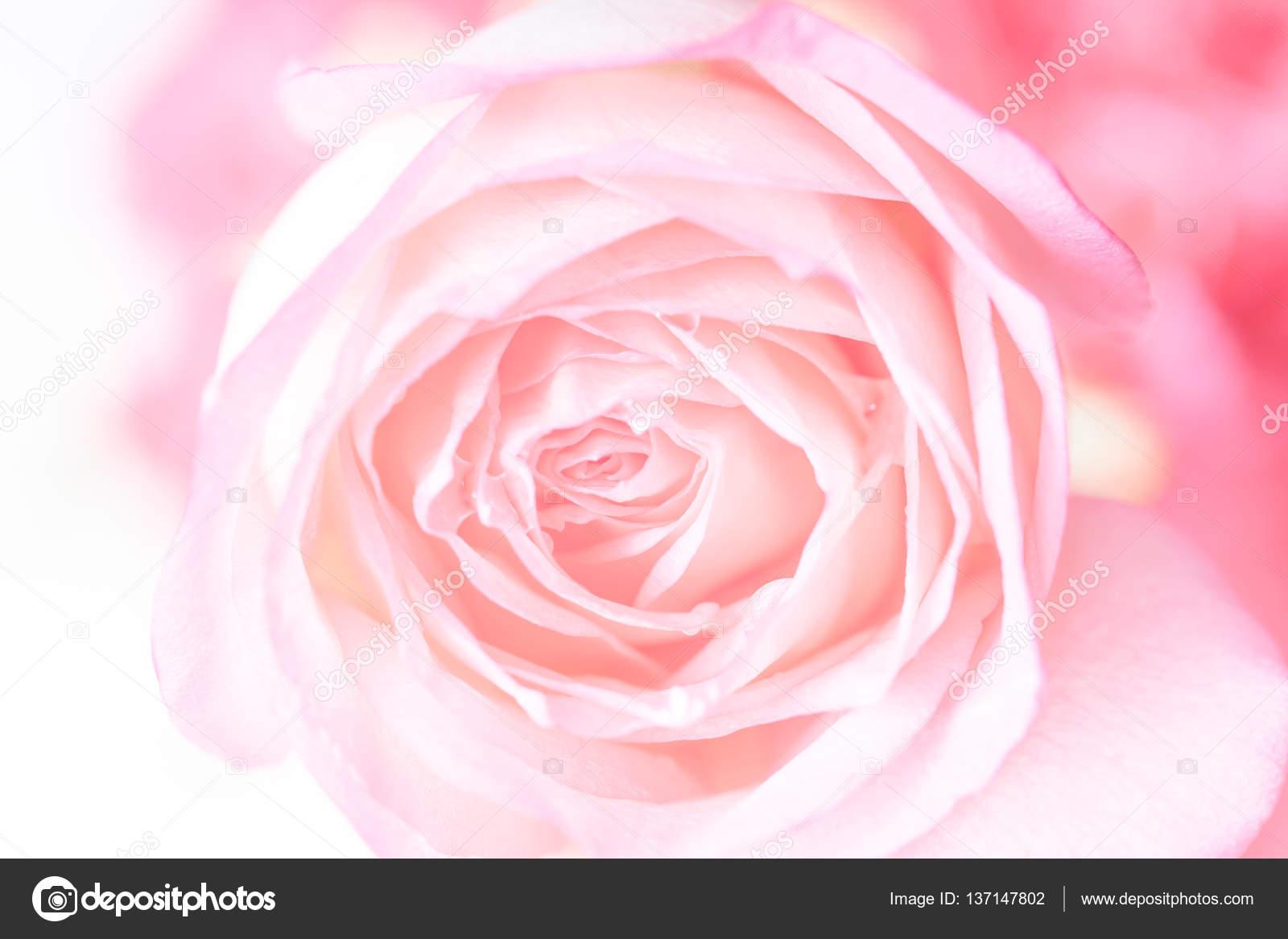 Gros Plan Du Fond De La Belle Fleur Rose Photographie Pritsadee