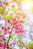 Třešňový květ nebo Sakura rozkvétá přírodní pozadí