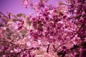 Fotografie Třešňový květ nebo Sakura rozkvétá přírodní pozadí