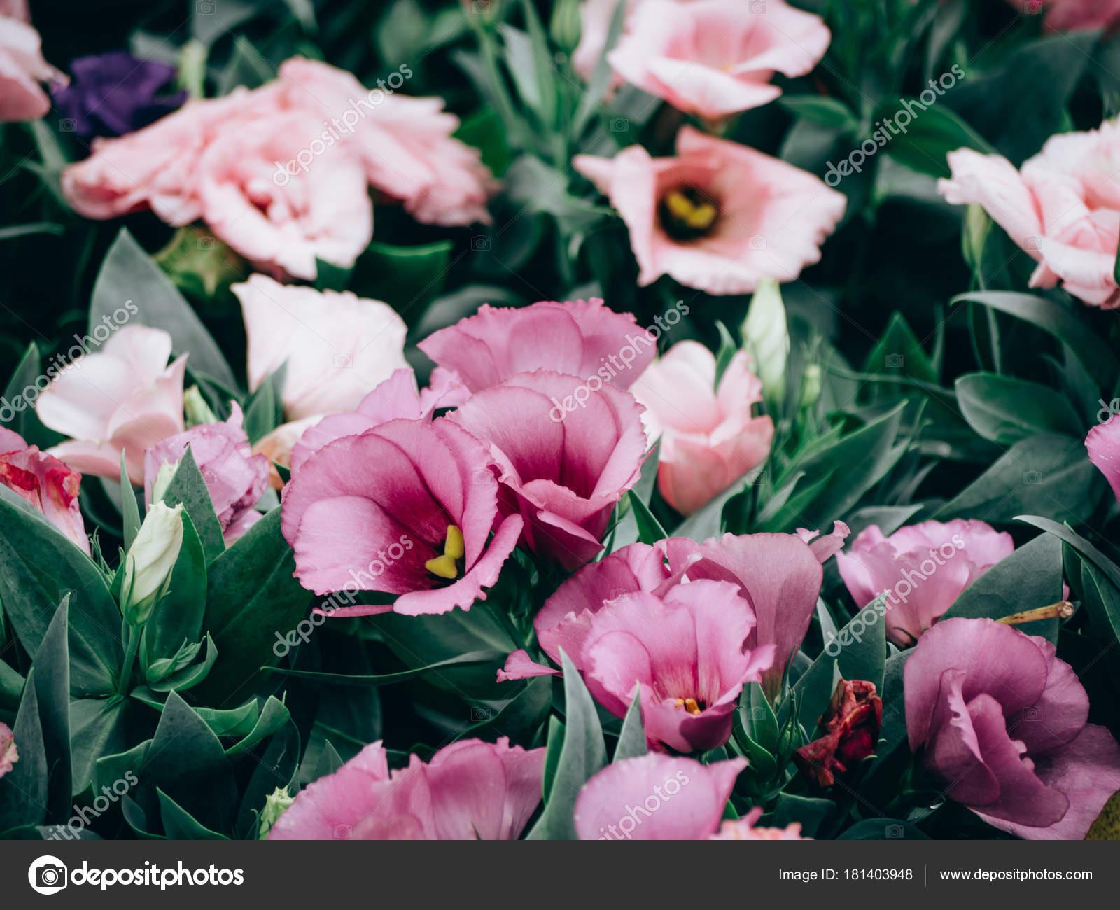 nahaufnahme der lisianthus oder eustoma bl tenpflanzen im garten stockfoto pritsadee 181403948. Black Bedroom Furniture Sets. Home Design Ideas