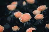 Rosenblüten in Großaufnahme im Garten