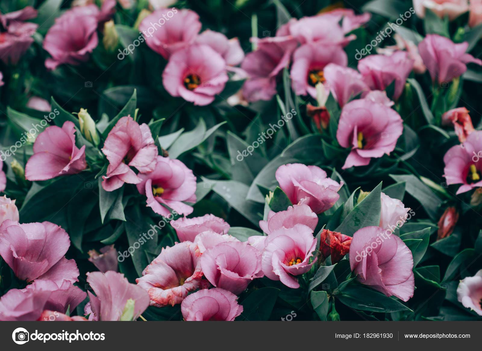 Nahaufnahme Der Lisianthus Oder Eustoma Blütenpflanzen Im Garten