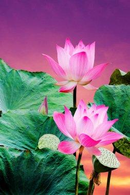 """Картина, постер, плакат, фотообои """"красивый розовый цветок лотоса постеры цветы фотографии природа"""", артикул 184677060"""