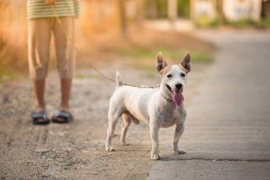Little boy walking outside with dog jack russel summer time