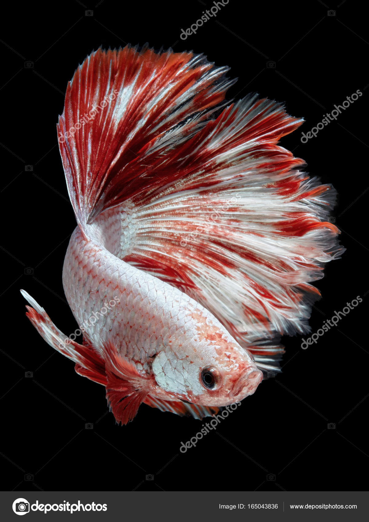 Betta Fish Siamese Fighting Fish Giant Betta Fish Half Moon — Stock ...